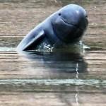 irawaddy-dolphin_1426022i