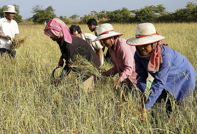 group harvesting rice